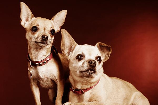 Tierfoto eines stehenden und eines davor liegenden kleinen Hundes vor rötlichem hintergrund.