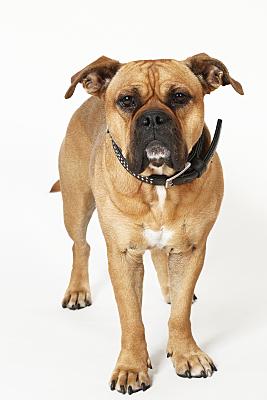 Tierfoto stehender Hund mit Halsband vor hellem Hintergrund.